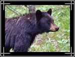 American Black Bear, Ursus americanus - Wildlife Photography Images - Photo Pictures of Wild Animals
