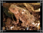 Greater Short-horned Lizard, �������, Phrynosoma hernandesi