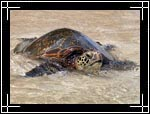 Pasific Green Sea Turtle, ������� ������� (�������, ��������) ��������, Chelonia mydas
