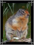 Uinta Ground Squirrel, ������, Spermophilus armatus