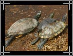 River Cooter Turtle, ��������� ������������ ��������, (Chrysemys) Pseudemys concinna