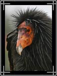 California Condor, �������������� ������, Gymnogyps californianus