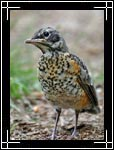American Robin, Turdus migratorius - Wildlife Photography Images - Birdwatching - Photo Images of Wild Birds