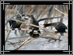 Brandt's Cormorant, Phalacrocorax penicillatus - Wildlife Photography Images - Birdwatching - Photo Images of Wild Birds
