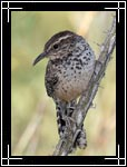 Cactus Wren, Campylorhynchus brunneicapillus - Wildlife Photography Images - Birdwatching - Photo Images of Wild Birds