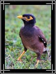 Common Myna, Acridotheres tristis - Wildlife Photography Images - Birdwatching - Photo Images of Wild Birds