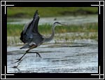 Great Blue Heron, ������� ������� �����, Ardea herodias