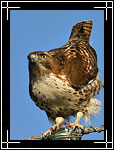 Red-tailed Hawk, ������������� (��������) �����, Buteo jamaicensis