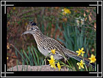 Greater Roadrunner, ������� (��������������) �������-����������, Geococcyx californianus