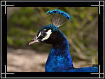 Indian Peafowl (peacock), ������ ������������, Pavo cristatus