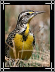 Eastern Meadowlark, Sturnella magna - Wildlife Photography Images - Birdwatching - Photo Images of Wild Birds
