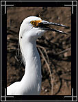 Snowy Egret, Egretta thula - Wildlife Photography Images - Birdwatching - Photo Images of Wild Birds