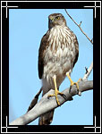 Cooper's Hawk, ������ ������, Accipiter cooperii - Wildlife Photography Images - Birdwatching - Photo Images of Wild Birds