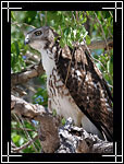 Red-tailed Hawk - ������������� (��������) ����� - Buteo jamaicensis - Wildlife Photography Images - Birdwatching - Photo Images of Wild Birds