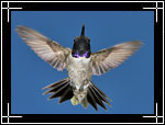 Black-chinned Hummingbird, �������, Archilochus alexandri
