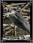 Black-crowned Night Heron, ������ ������������, Nycticorax nycticorax