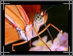 Wildlife Macro Photography Images - Macro Photo Images of Insects - Dryas Julia Butterfly, Central New Mexico - Macro Pictures