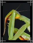 Chinese Praying Mantis, ��������� �������, Tenodera aridifolia sinensis