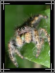 Wildlife Macro Photography Images - Macro Photo Images of Insects - Bold Jumping Spider Phidippus audax, Central New Mexico - Macro Pictures