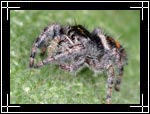 Bold Jumping Spider, Phidippus audax - Macro Photography Images - Closeup Photo Images of Insects