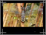 Wildlife Macro Photography Images - Macro Photo Images of Insects - Springtime Darner Dragonfly Basiaeschna janata, Central New Mexico - Macro Image