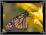 Monarch butterfly, Danaus plexippus - Macro Photography Images - Closeup Photo Images of Insects