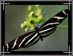 Wildlife Macro Photography Images - Macro Photo Images of Insects - Zebra Longwing Butterfly Heliconius Charitonius, New Mexico - Macro Pictures