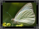 Wildlife Macro Photography Images - Macro Photo Images of Insects - Cabbage White Butterfly Papilionoidea Pieris rapae, New Mexico - Macro Pictures