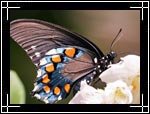 Wildlife Macro Photography Images - Macro Photo Images of Insects - Pipevine Swallowtail Battus philenor Butterfly, New Mexico - Macro Pictures