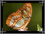 Wildlife Macro Photography Images - Macro Photo Images of Insects - Malachite Butterfly Papilionidae, New Mexico - Macro Pictures