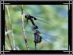 Black Saddlebags Dragonfly, �������� ���������, Tramea lacerata