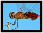 Red Saddlebags Dragonfly, �������� ���������, Tramea onusta