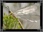 Antlion, Myrmeleon (Brachynemurus) - Macro Photography Images - Closeup Photo Images of Insects