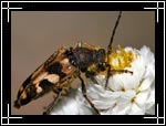 Banded Flower Longhorn Beetle, Typocerus velutinus - Macro Photography Images - Closeup Photo Images of Insects