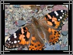 Painted Lady Butterfly, Vanessa cardui - Macro Photography Images - Closeup Photo Pictures of Insects