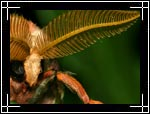 Luna Moth, Actias luna - Macro Photography Pictures - Closeup Photo Images of Insects