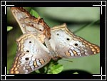 White Peacock butterfly, ������� ���������, Anartia jatrophae - Wildlife Macro Photography Images - Macro Photo Images of Insects - Macro Pictures