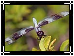 Eight-spotted Skimmer dragonfly, �������� ���������, Libellula forensis - Wildlife Macro Photography Images - Macro Photo Images of Insects - Macro Image