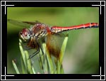 Western Meadowhawk dragonfly, �������� ���������, Sympetrum occidentale - Wildlife Macro Photography Images - Macro Photo Images of Insects - Macro Image
