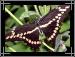 Giant Swallowtail Butterfly, ������� �������-��������, Papilio cresphontes