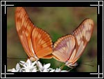 Julia Heliconian Butterfly, ������� ������, Dryas Julia - Wildlife Macro Photography Images - Macro Photo Images of Insects - Macro Pictures