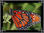 Monarch butterfly, ������� ������� ������, Danaus plexippus - Wildlife Macro Photography Images - Macro Photo Images of Insects - Macro Pictures