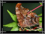 Question Mark butterfly, Polygonia interrogationis - Macro Photography Images - Closeup Photo Images of Insects
