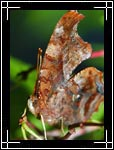 Question Mark butterfly, ������� �������������, Polygonia interrogationis