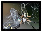 Black and Yellow garden spider, ���� ����, Argiope aurantia - Wildlife Macro Photography Images - Macro Photo Images of Insects - Macro Pictures