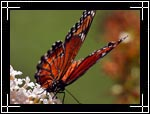 Viceroy butterfly, ������� �������, Limenitis archippus - Wildlife Macro Photography Images - Macro Photo Images of Insects - Macro Pictures
