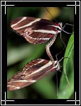 Zebra Heliconian longwing Butterfly, ������� �����, Heliconius charitonius - Wildlife Macro Photography Images - Macro Photo Images of Insects - Macro Pictures