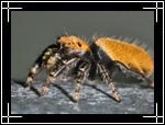 Apache jumping spider, ���� ������, Phidippus apacheanus - Wildlife Macro Photography Images - Macro Photo Images of Insects - Macro Pictures