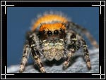 Apache jumping spider, Phidippus apacheanus - Macro Photography Images - Closeup Photo Images of Insects