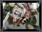 Jumping spider, ���� ������, Araneae Salticidae - Wildlife Macro Photography Images - Macro Photo Images of Insects - Macro Pictures